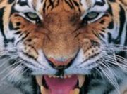 Tigerthumbnail2